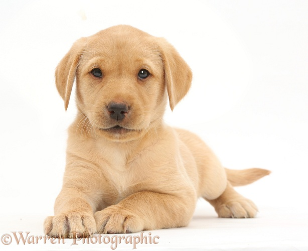 Cute Yellow Labrador Retriever puppy, 8 weeks old, lying with head up, white background