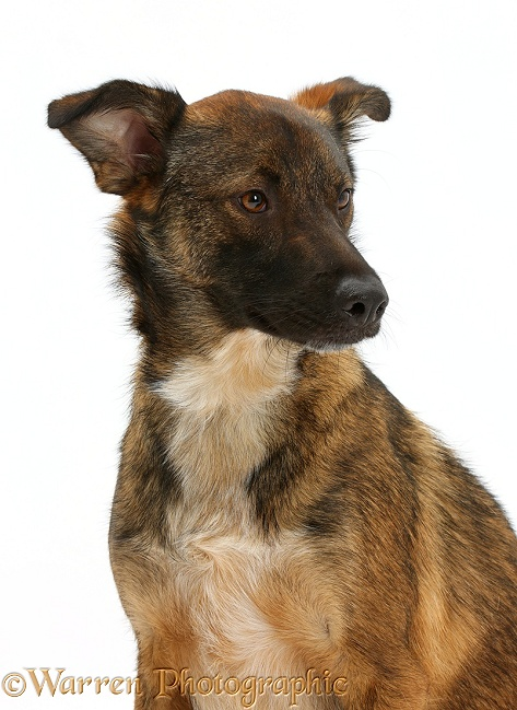 Collie x Shepherd dog, 1 year old, white background