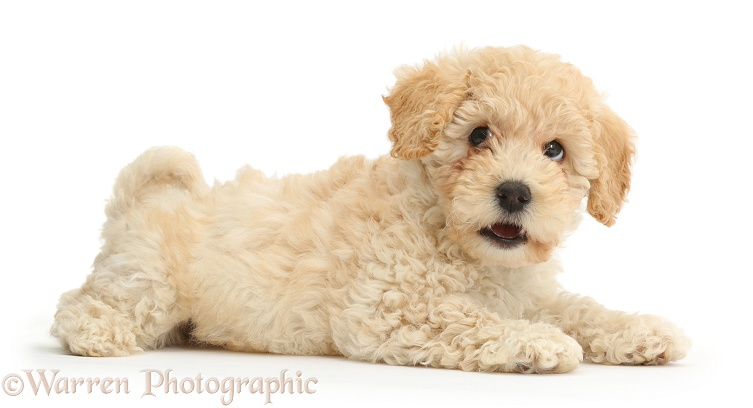 Cute Poochon puppy, 6 weeks old, white background