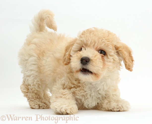 Cute playful Poochon puppy, 6 weeks old, white background