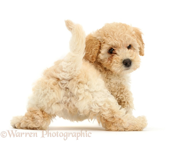 Cute playful Poochon puppy, 6 weeks old, rear view, looking round, white background