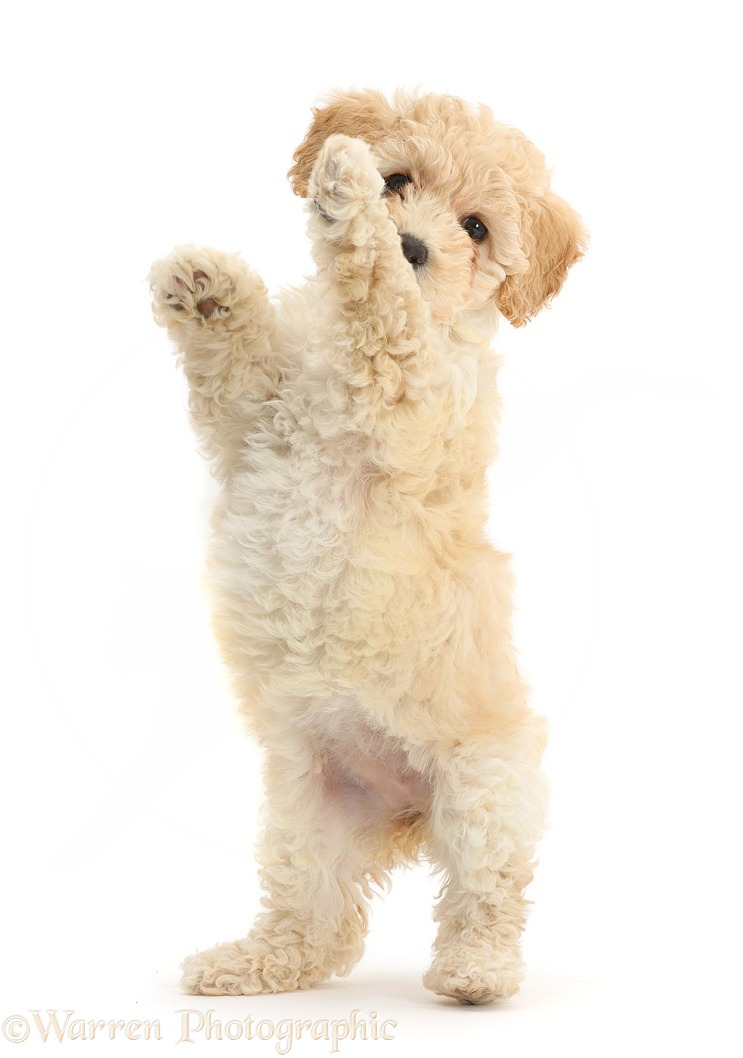 Cute playful Poochon puppy, 6 weeks old, standing up on hind legs, white background