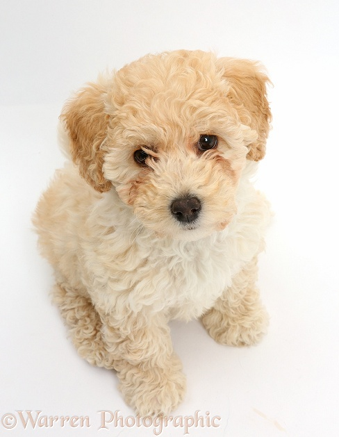 Cute playful Poochon puppy, 6 weeks old, sitting and looking up, white background