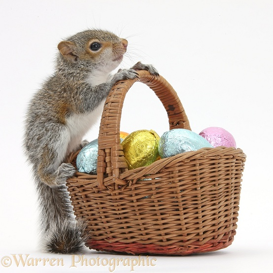 Young Grey Squirrel (Sciurus carolinensis) with wicker basket of Easter eggs, white background