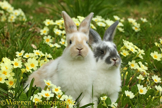 Young rabbits among Spring primrose flowers