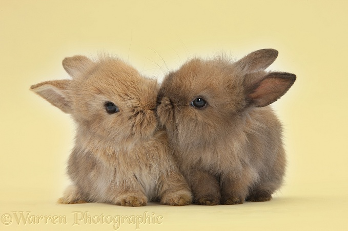 Two cute baby Lionhead-cross bunny rabbits kissing on yellow background