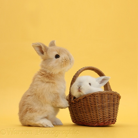 Cute young Sandy and white rabbits in wicker basket on yellow background