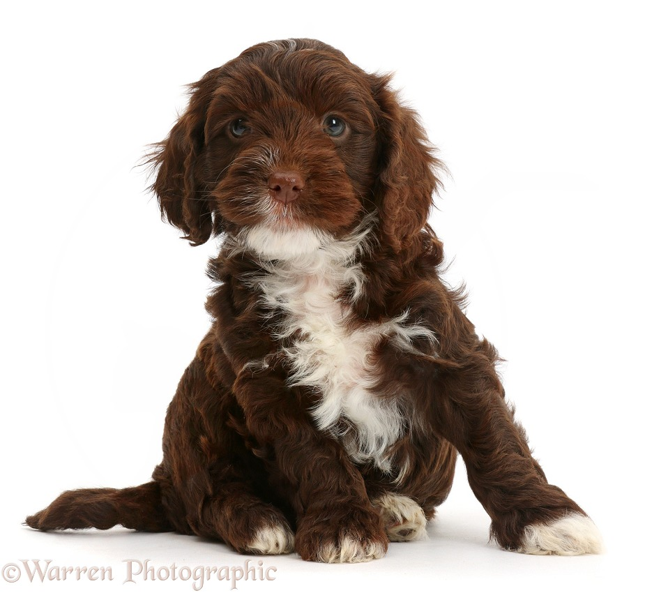 Chocolate Cockapoo puppy, white background