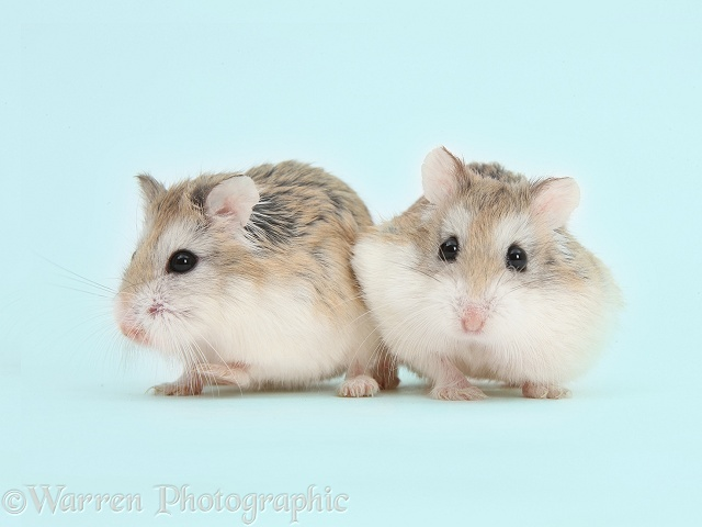 Roborovski Hamsters on blue background photo WP41652