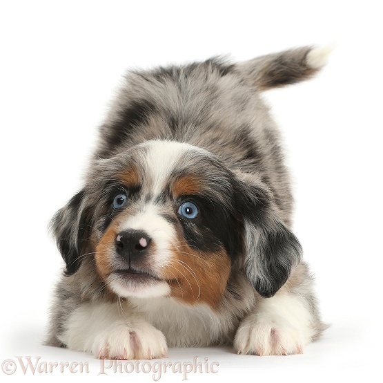 Miniature American Shepherd puppy, 7 weeks old, in play-bow stance, white background