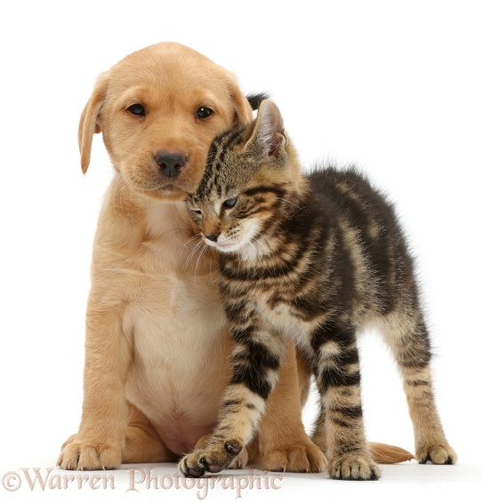 Tabby kitten, Picasso, 9 weeks old, rubbing in a friendly manner against cute Yellow Labrador puppy, 8 weeks old, white background