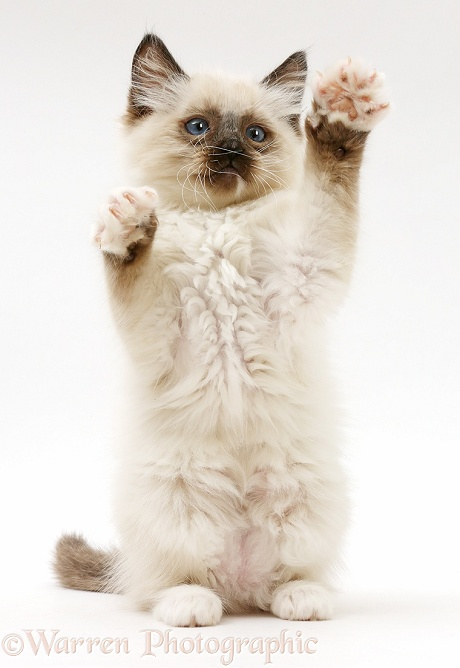 Ragdoll kitten, 10 weeks old, reaching up in a playful manner, white background