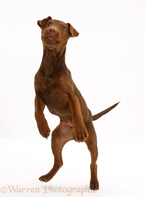 Patterdale Terrier dog puppy, Korka, 4 months old, jumping up, white background