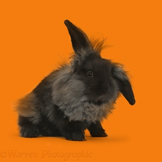 Black smoke fluffy Lionhead x Lop bunny, white background