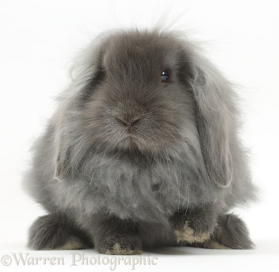Blue fluffy Lionhead x Lop bunny, white background