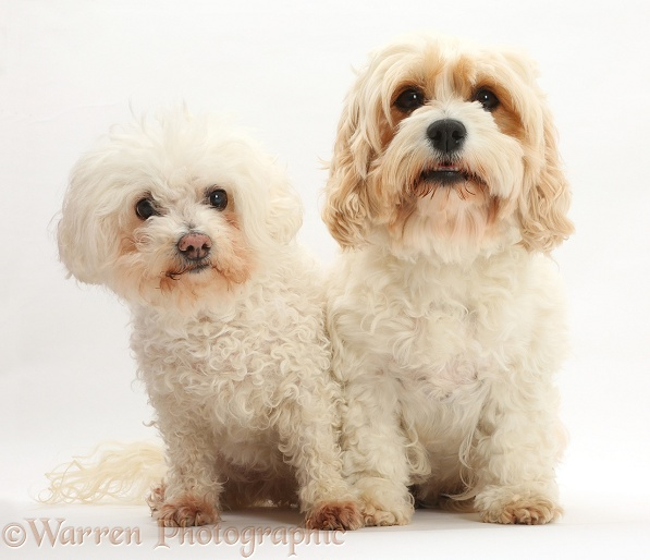 Bichon Frise bitch, Poppy, 14 years old, with Cavachon bitch, Frazzle, 4 years old, white background