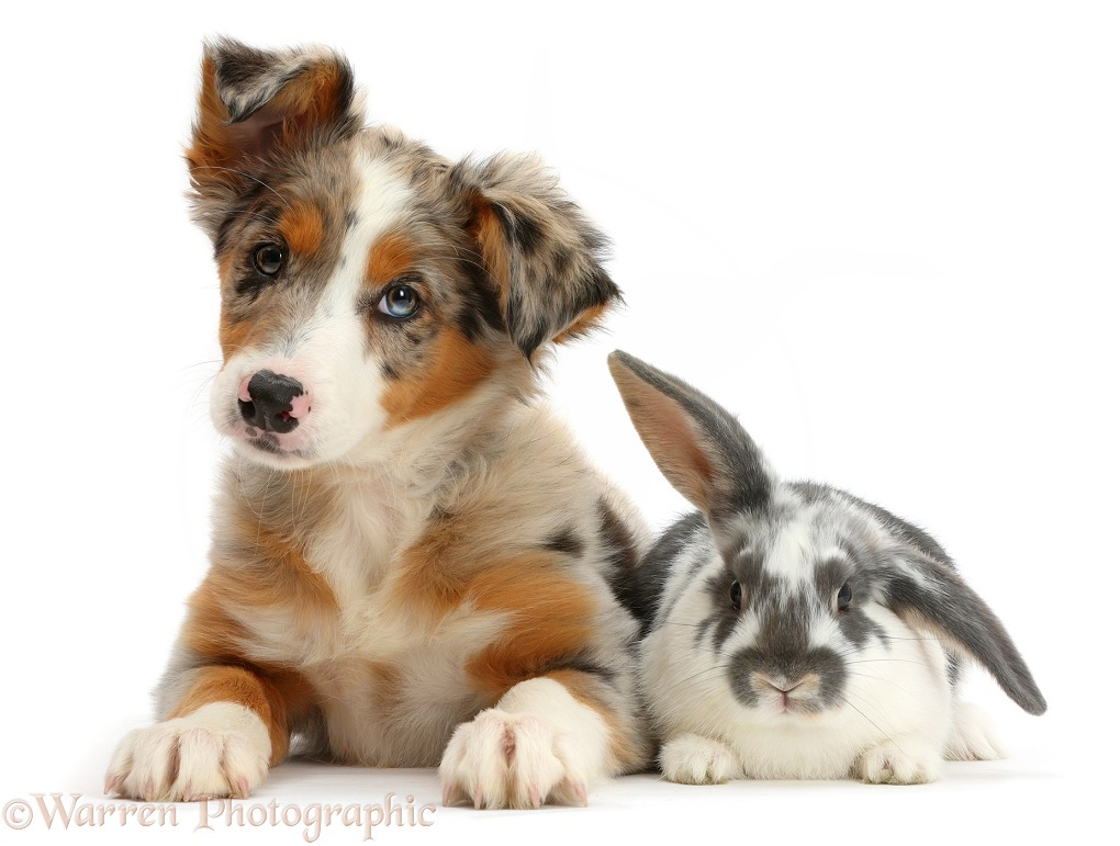 Tricolour merle Collie puppy, Indie, 10 weeks old, with blue-and-white rabbit, white background