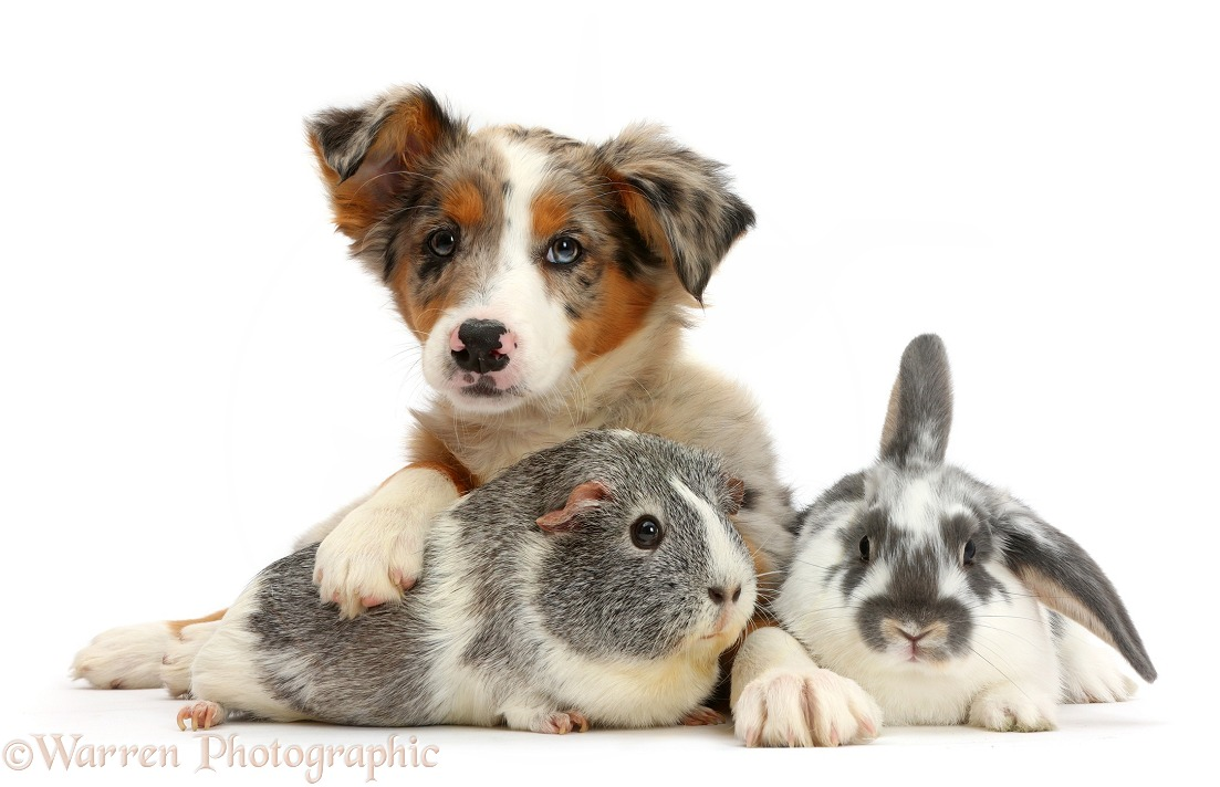 Tricolour merle Collie puppy, Indie, 10 weeks old, with Guinea pig and rabbit, white background