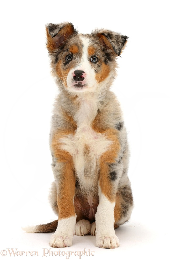Tricolour merle Collie puppy, Indie, 10 weeks old, white background