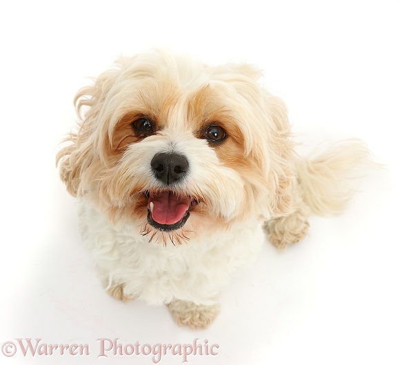 Cavachon bitch, Frazzle, 4 years old, sitting looking up, white background