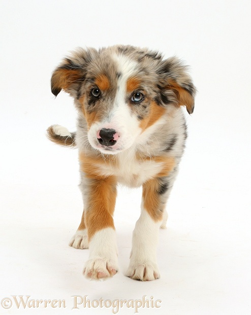 Tricolour merle Collie puppy, Indie, 10 weeks old, trotting, white background