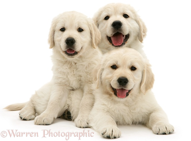 Three happy Golden Retriever pups, white background