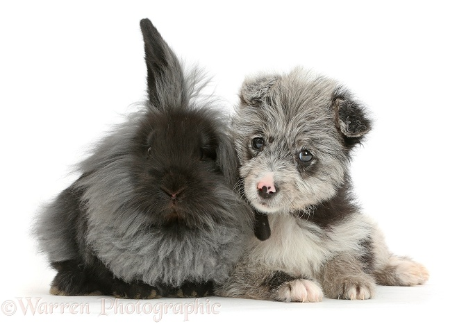 ChiPoo puppy, Roxy, 12 weeks old, with black rabbit, white background