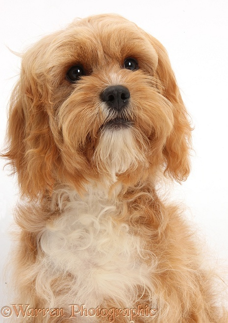 Cavapoo bitch, 5 months old, sitting, white background