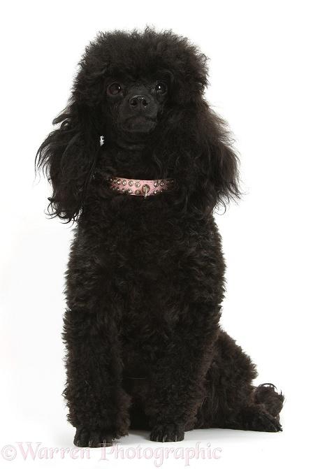 Dog: Black toy poodle bitch photo - WP41772