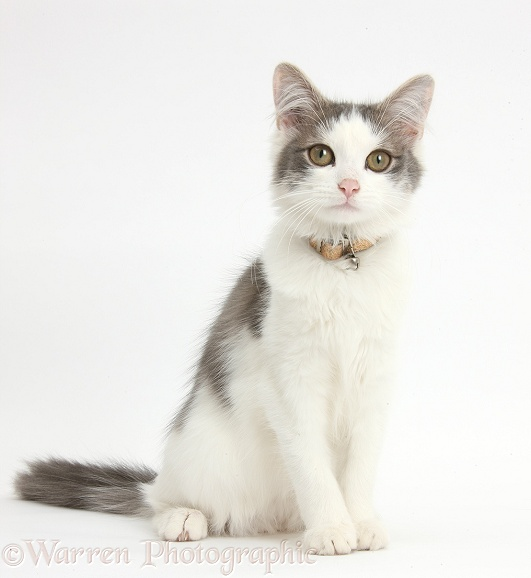 Grey-and-white female cat, Dottie, 5 months old, sitting, white background