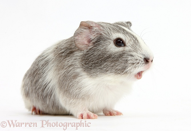 Silver-and-white Guinea pig squeaking, white background