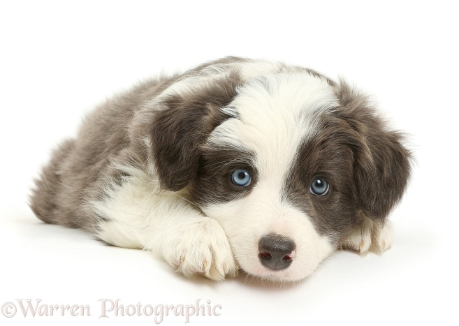 Border Collie puppy lying with chin on floor, white background