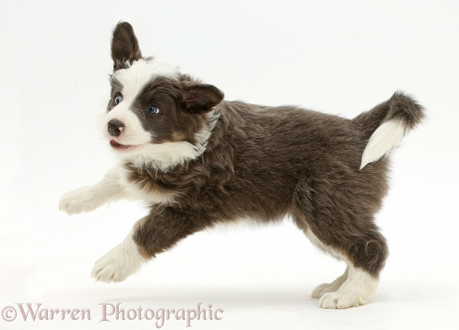 Border Collie puppy bounding playfully, white background