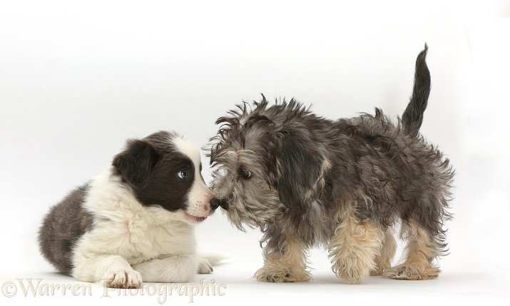 Dandie Dinmont Terrier and Border Collie puppies, nose-to-nose, white background