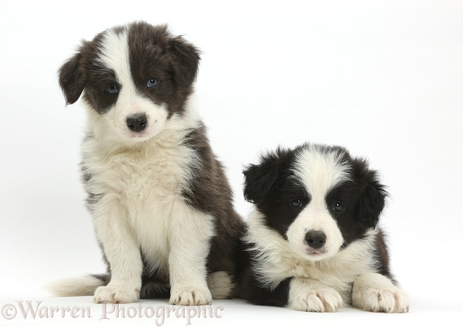 Blue-and-white and black-and-white Border Collie pups, white background