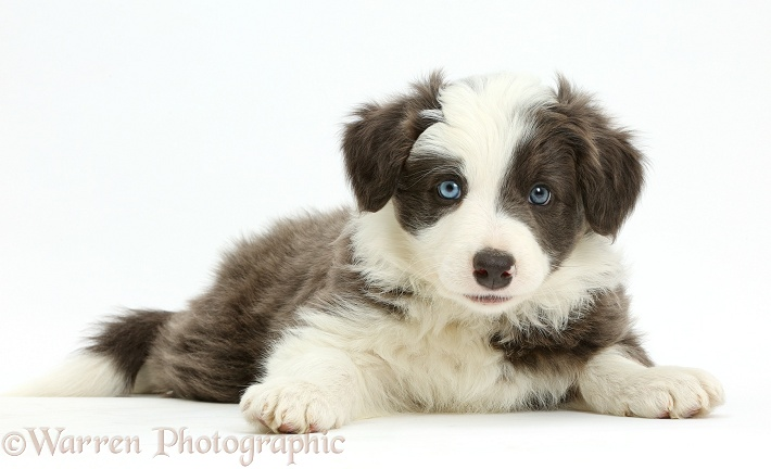 Border Collie puppy lying with head up, white background
