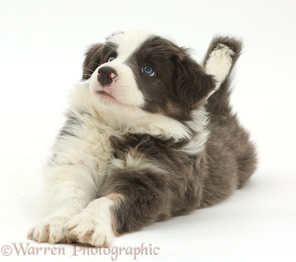 Border Collie puppy lying playfully stretched out, white background