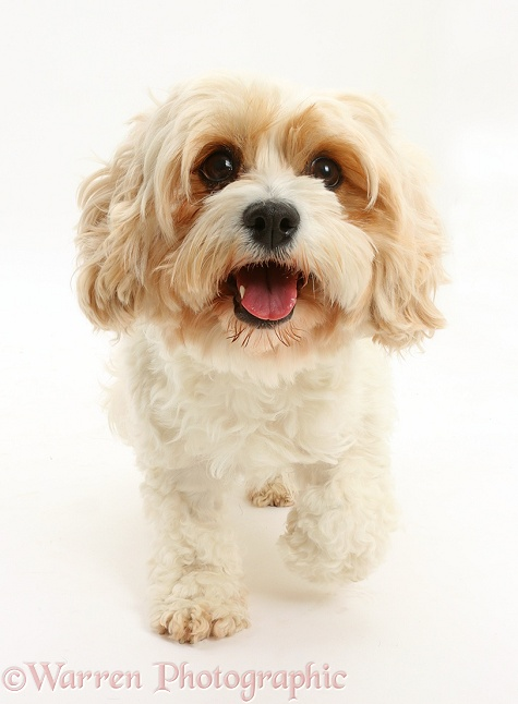 Cavachon bitch, Frazzle, 4 years old, trotting, white background