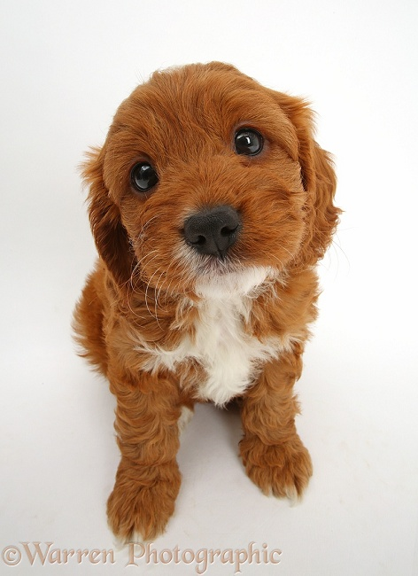 Cavapoo puppy, 6 weeks old, sitting and looking up, white background