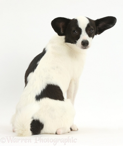 Papillon x Jack Russell Terrier dog, 20 months old, sitting and looking over his shoulder, white background