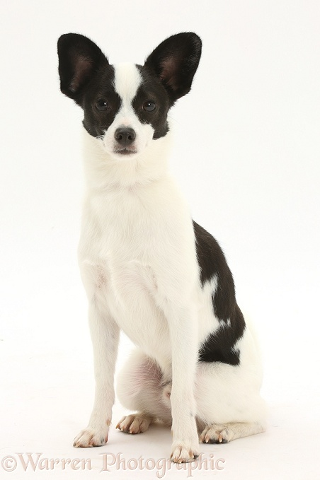 Papillon x Jack Russell Terrier dog, 20 months old, sitting, white background