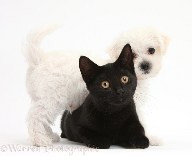 Cute white Bichon Frise x Yorkshire Terrier dog puppy, Georgie, 8 weeks old, with black female cat, Pachie, 5 months old, white background