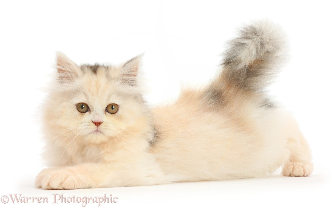 Persian kitten lying stretched out, white background