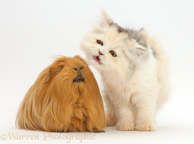 Persian kitten making a funny face at Guinea pig, white background