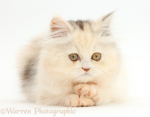 Persian kitten with paws crossed, white background
