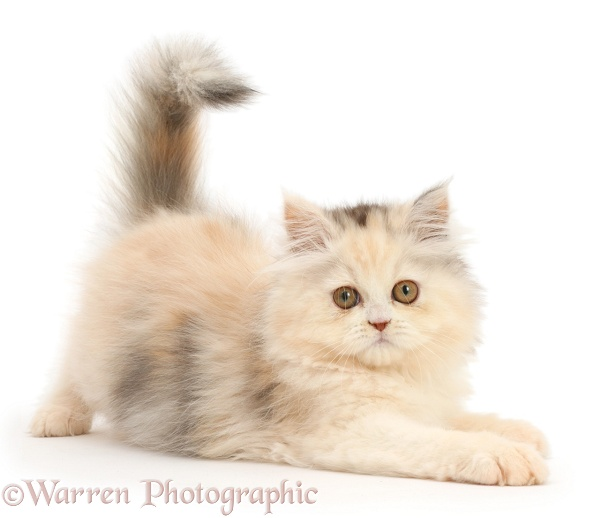 Persian kitten in playful posture, white background