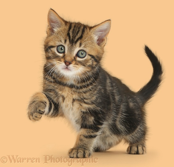 Tabby kitten, 7 weeks old, with raised paw, white background