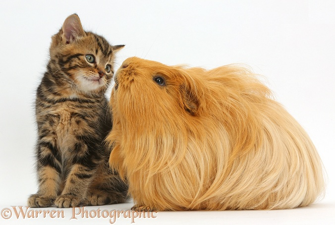 Tabby kitten, 7 weeks old, and Guinea pig, white background
