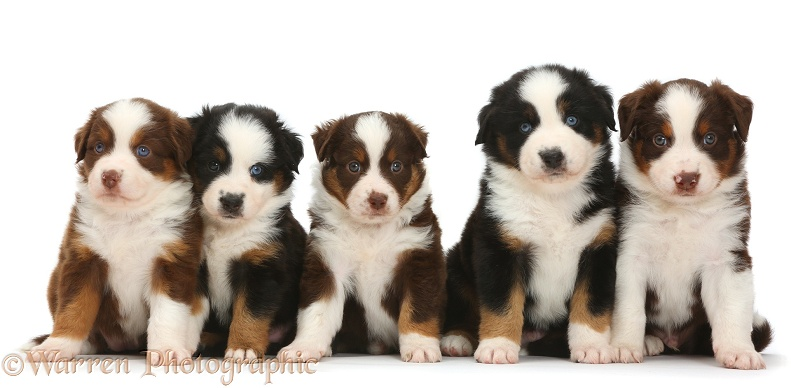 Five Miniature American Shepherd puppies, sitting in a row, white background