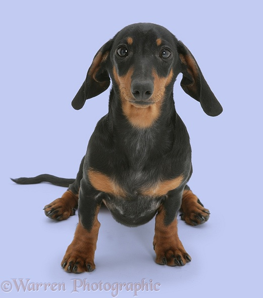 Miniature Dachshund pup sitting, white background